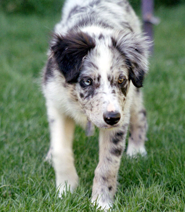Border Collie Blue Merle
